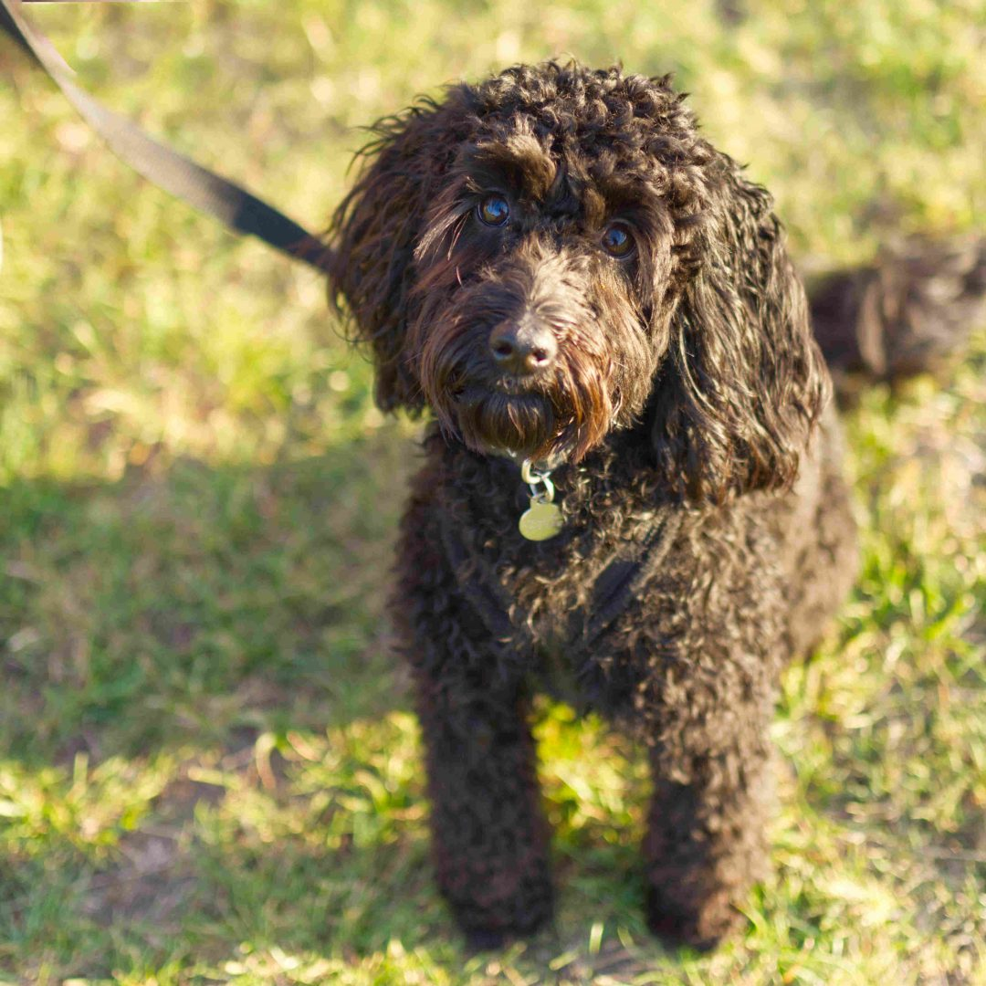 Cavapoo Dog Photographer GuildfordSurrey